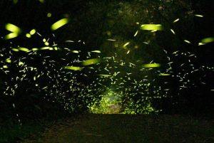 螢火蟲季開始啦!